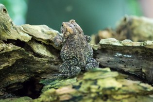 Anaxyrus americanus. Large toad. By Richard Jacob