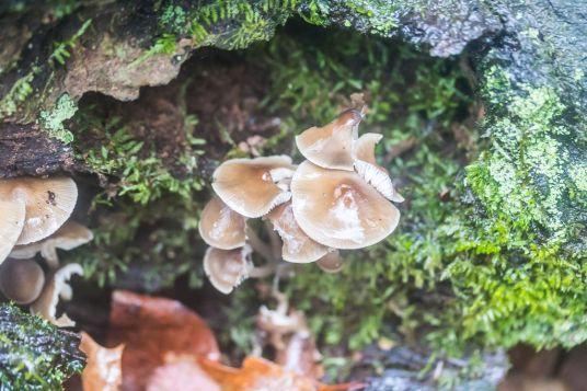 Mycena galericulata. By Richard Jacob-2