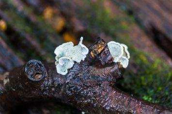 Plicaturopsis crispa. By Richard Jacob