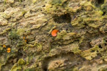 Scutellinia scutellata. By Richard Jacob-3