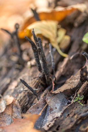 Xylaria cornu-damae. By Richard Jacob-2