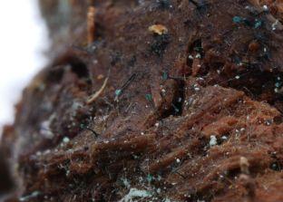 Dendrostilbella smaragdina. By Garrett Taylor