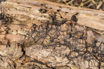 Armillaria sp. Rhizomorphs or armoured mycelium. By Richard Jacob