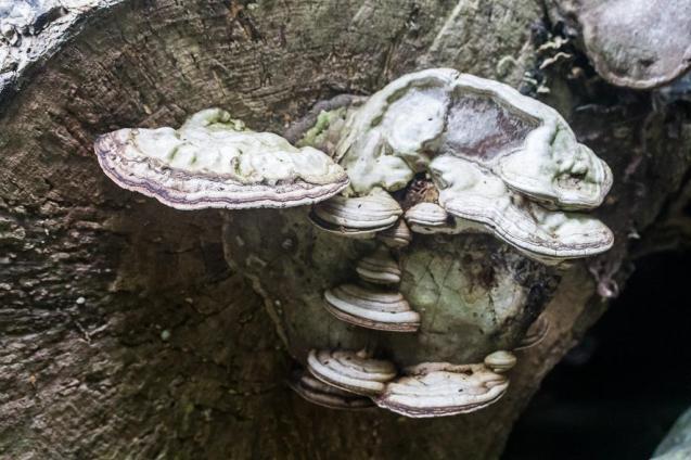 Ganoderma applanatum. By Richard Jacob