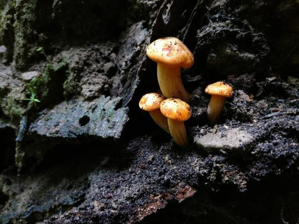 Omphalotus illudens. By Jerry Sapp