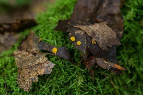 Phaeohelotium epiphyllum. By Richard Jacob