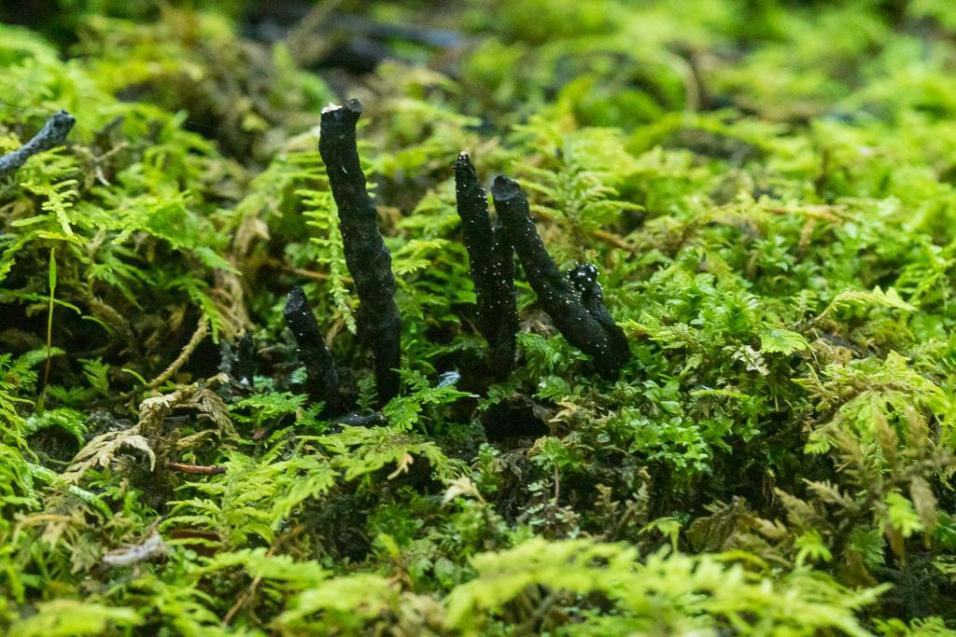 Xylaria cornu-damae. By Richard Jacob-4