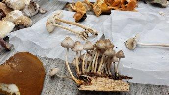 Mycena inclinata. By Cara Barkley Coulter