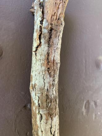 Hyphodontia sambuci. By Richard Jacob