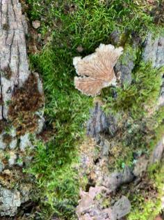 Schizophyllum commune. By Richard Jacob-4