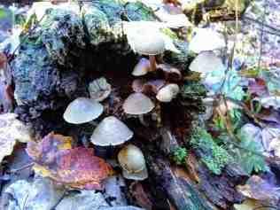 Brian-Lynn Gill Mycena species