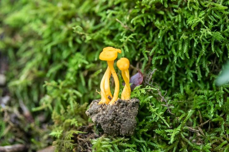 Cantharellus minor. By Richard Jacob-4