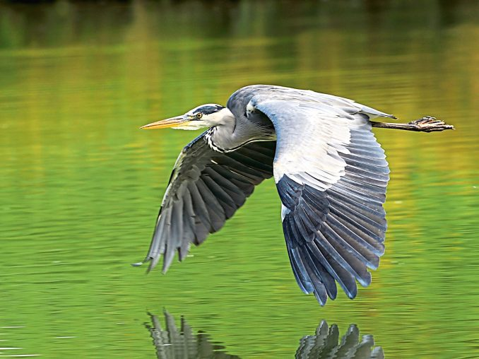 Nightlife of the grey heron – The Courier