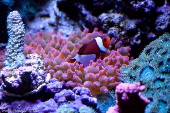 clown fish and rbta