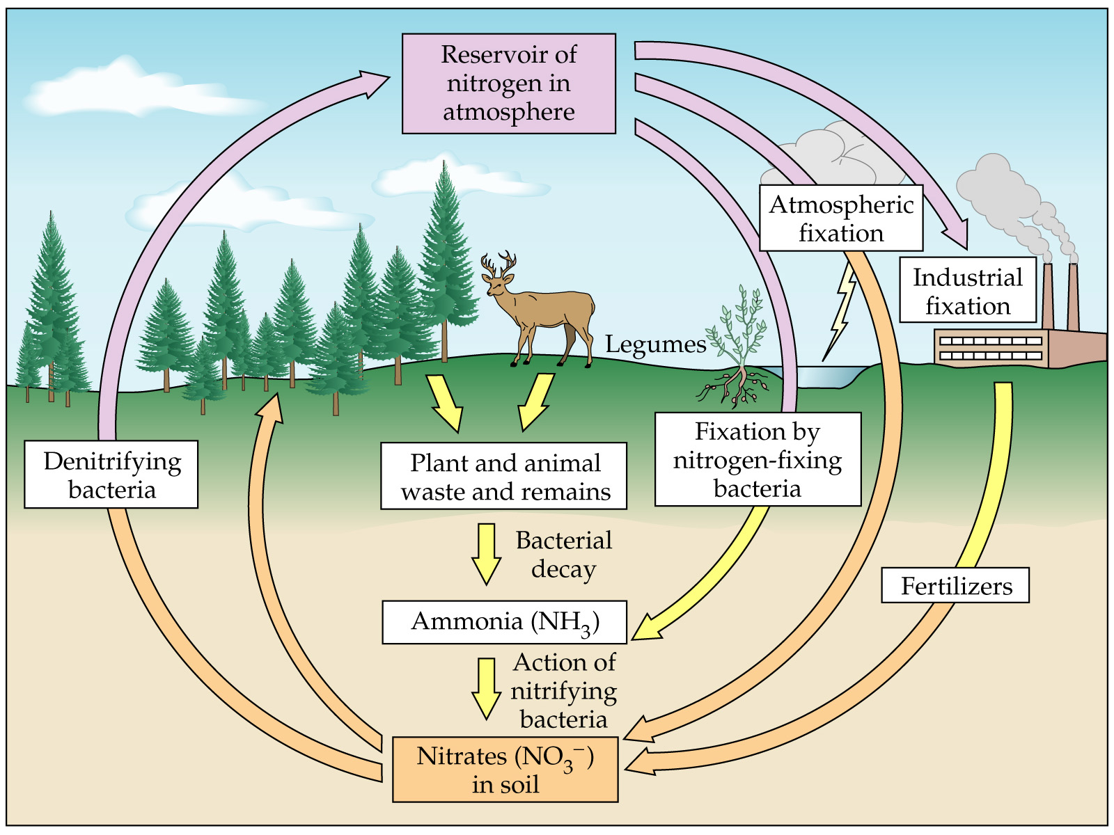 The Best Cycle The Nitrogen Cycle By Bhumi Aishika Winifred Sre And Kevin Period 6