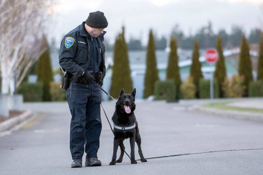 Sequim Police Department Officer Paul Dailidenas and Police Service Dog Mamba pause after completing a tracking exercise in Sequim on Sunday. (Jesse Major/Peninsula Daily News)