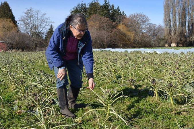 About 10 acres of purple sprouting broccoli and Italian cauliflower were eaten by migrating birds after the recent snowstorm, said Patty McManus-Huber, promotions coordinator for Nash's Organic Produce. Matthew Nash/Olympic Peninsula News Group