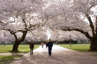 University of Washington Cherry Blossoms in Spring