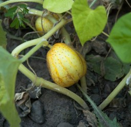 Heirloom Cucumber