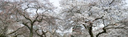 CherryBlossoms_4