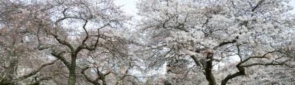 CherryBlossoms_4