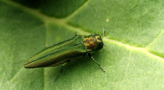 Emerald ash borer found in more areas of the state; invasive pest spreading