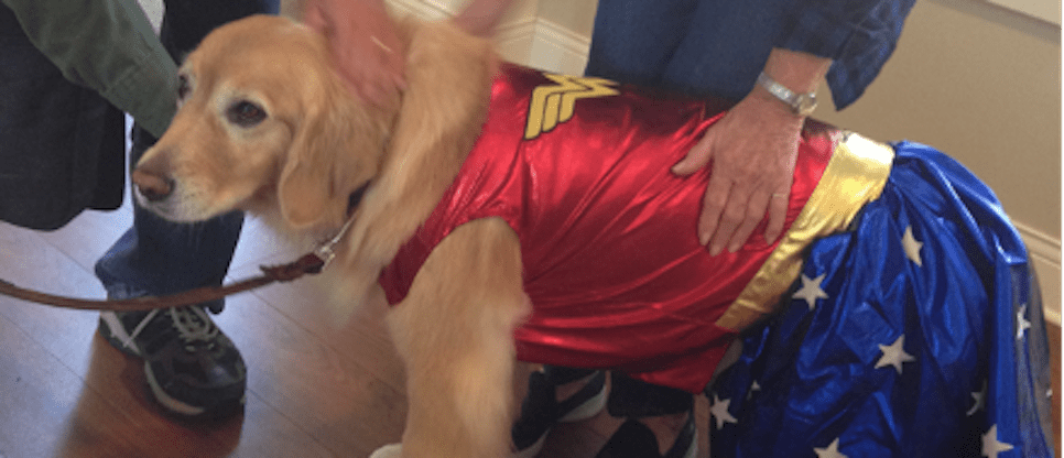 Goldens as Therapy Dogs