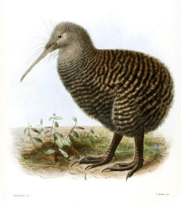 Image, 1876 drawing of a kiwi by John Gerrard Keulemans.