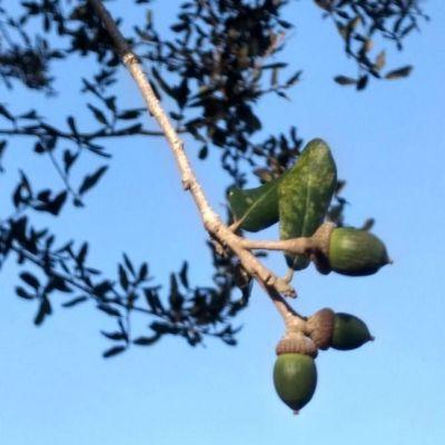 Oaks From Acorns Grow