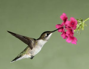 Hummingbird shutterstock_58968394