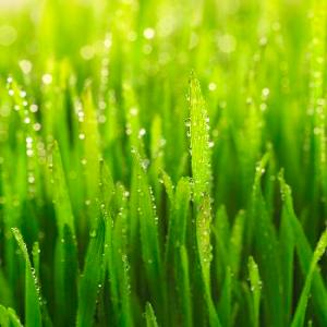 Dew on Green Grass