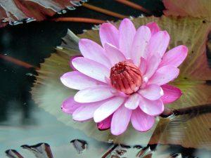lotus-782973_1280
