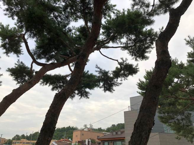 Garden pines in the 2-acre grounds of Seoul Art Space Yeonhui