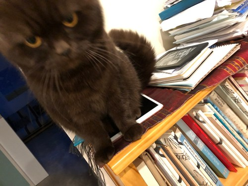 Disapproving cat on a shelf of books by Rachel McAlpine