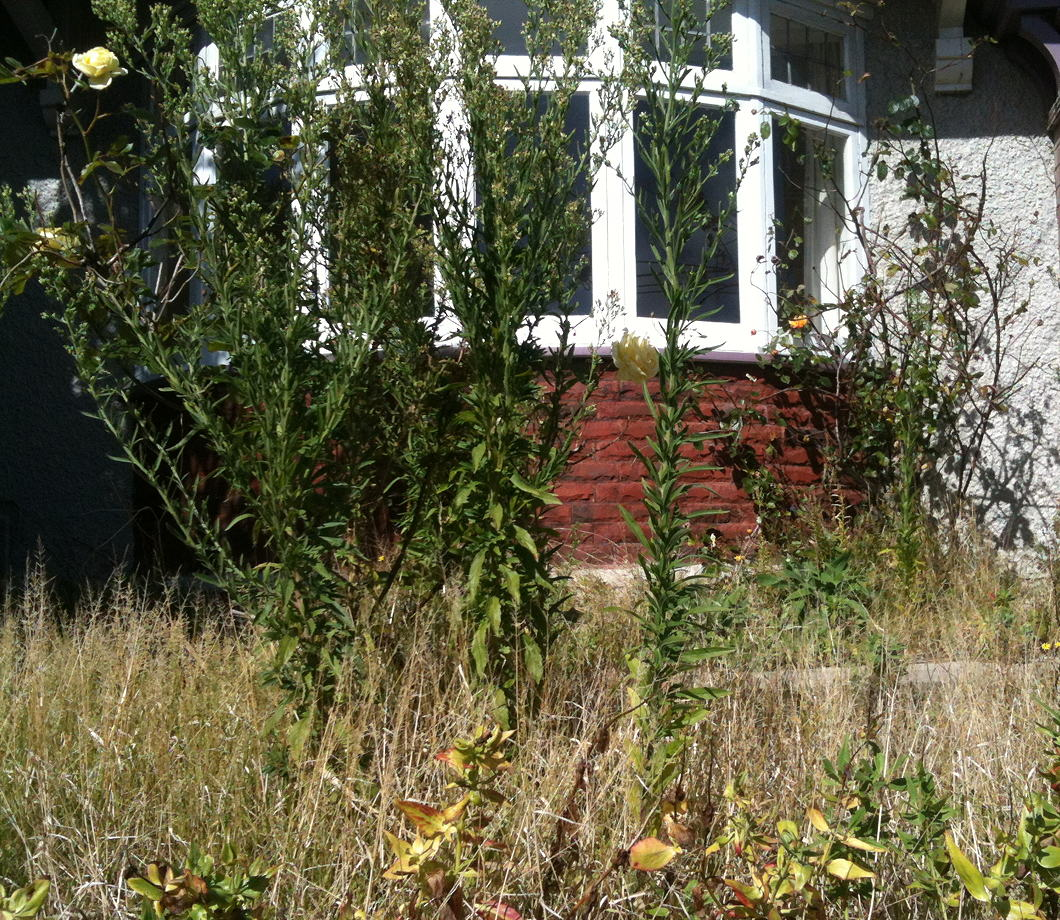 An old brick house with bay window fronted by straggly rose bushes and tall weeds