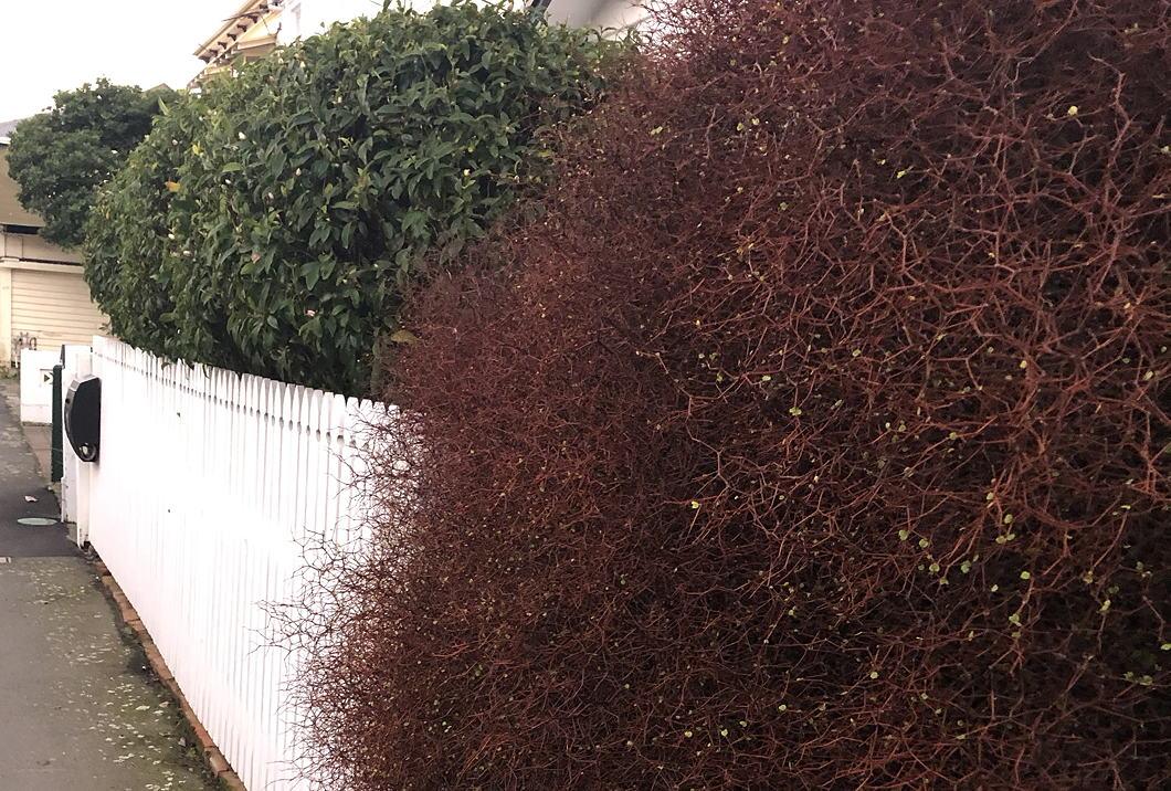 Spherical bushes, green camellia and auburn muhlenbeckia