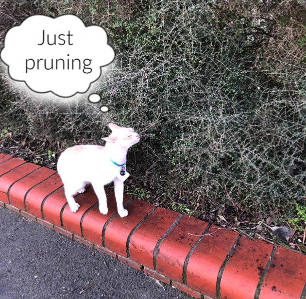 cat-pruning-coprosma