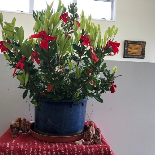 Small pohutukawa tree in a pot, decorated with red bows and a Peruvian creche below