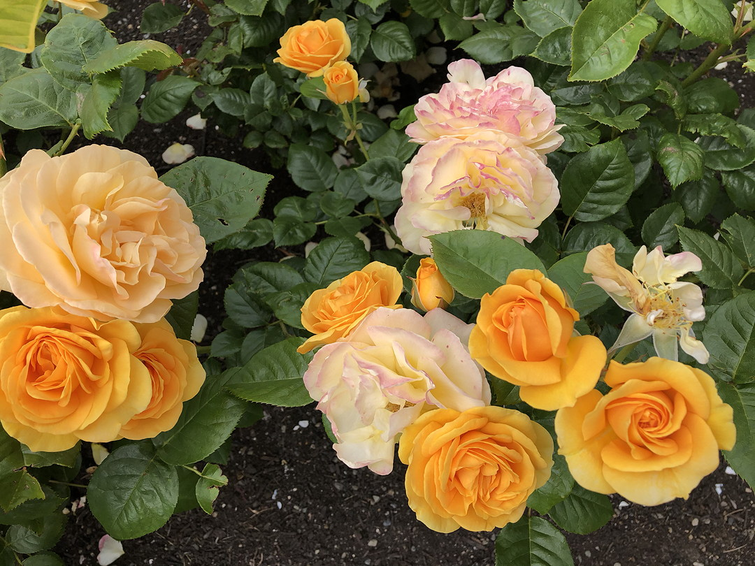 13 yellow roses from buds to one with only a few petals remaining