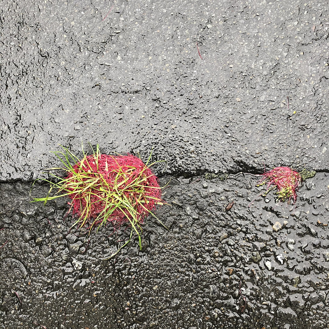 Pohutukawa stamens clinging to grass on a wet footpath