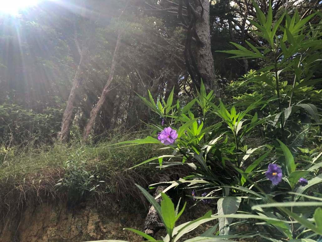 Sunburst over poroporo plant flowering on Mt Victoria, Wellington