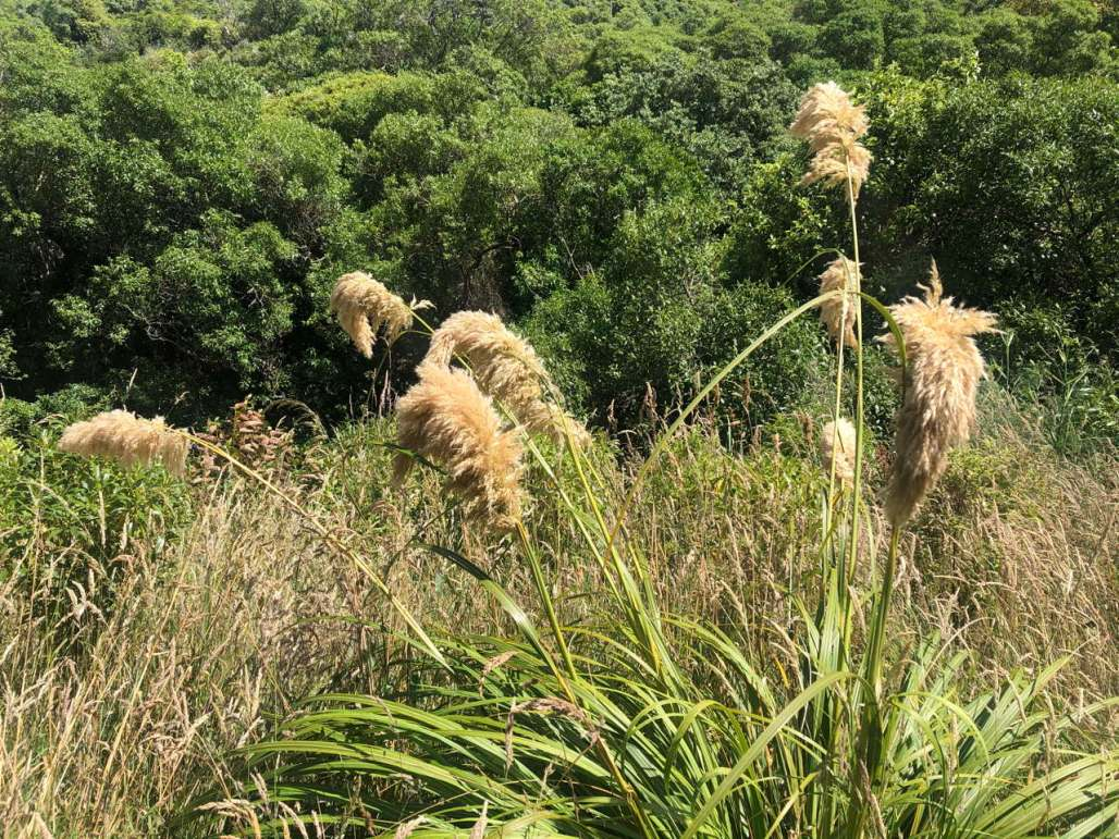 Toe Toe—feathery seed-heads blowing in the wind