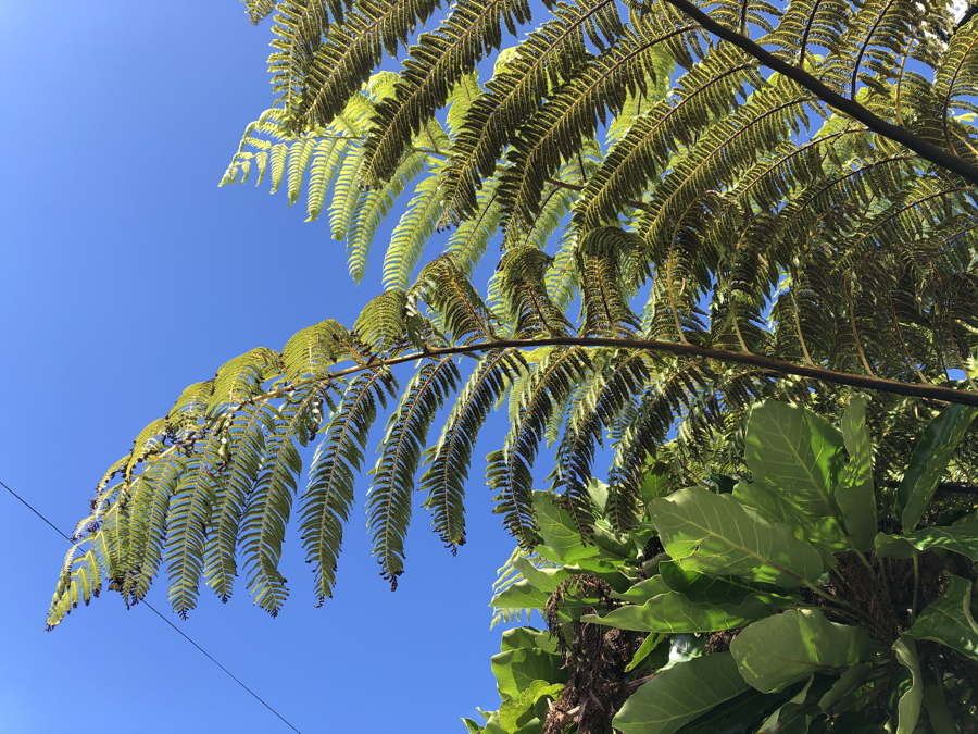 Mamaku: NZ tree fern with strong fronds