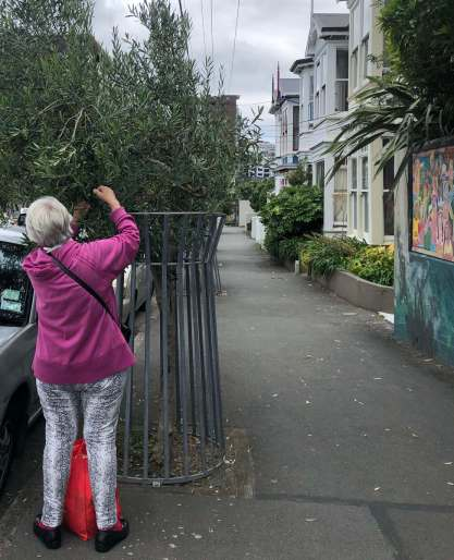 Back view of white-haired woman in pink fleece jacket picking olives off a tree in a suburban street. She is apparently a nun.