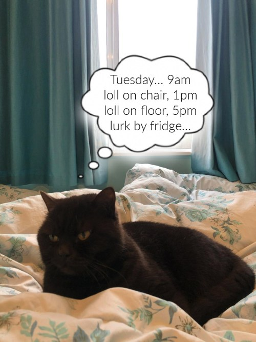 "photo of cat on a bed. Thought bubble says ""Tuesday... 9am loll on chair, 1pm loll on floor, 5pm lurk by fridge."""