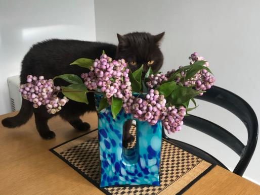 Cat looking at a bunch of lillypilly berries in a vase