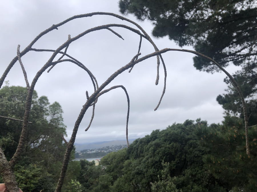 A branch ending in three curved twigs, seen against a grey sky and  old trees.