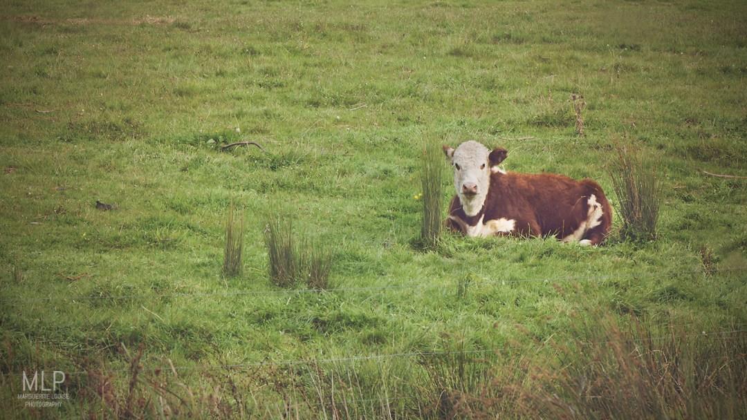 cows, tasmania, pyengana, cattle, australia, calf