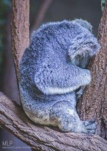 Australia Zoo - Koala 4