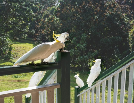 cockatoo, cockatoos, bunya mountains, birds,